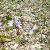 紫色の一輪草
