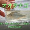オオタナゴの特徴・外観・釣れるポイントを紹介!(特定外来生物)