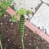 パセリを食べて、大きくなるイモムシ(キアゲハの幼虫)