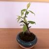 梅の盆栽その後