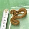 のぞみ車内にヘビ…全長30センチ、浜松で捕獲