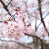 【#78】桜はsoul flowers