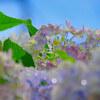 紫陽花撮影①