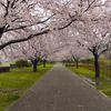 藤沢引地川親水公園の花見!桜をルミックスで撮る♪