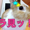 【ミニウサギのサスケ先輩】新発見!?これでうさぎの換毛期のブラッシングも簡単に!?