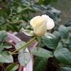 挿し木の白バラと思ってたらボレロだった件