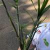 クロヤマアリ女王と竹の子!リベンジ編
