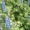 綺麗な青い花