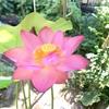 幸福の象徴 ハスの花が咲きました
