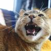 3月後半の #ねこ #cat #猫 どらやきちゃんA