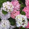 【紫陽花の季節】京都の三室戸寺で紫陽花鑑賞を楽しんでみよう【写真多め】
