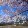 2019年初秩父  秘境に咲く桜を求めて