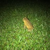 夜の闇の中にヒキガエル