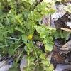 ヤブタビラコは苦し 春の七草もどき