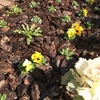 【庭仕事】春咲き植物が成長してきたので花壇に植え付けた話