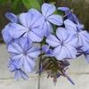 2年目のルリマツリ(プルンバーゴ)が満開! 神秘的な青紫色に魅了される!