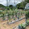 夏野菜の成長と収穫 ーチャレンジ畑編ー
