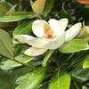 留守家にぬつと泰山木の花(あ)