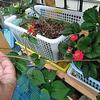 6/30 午前中は土砂降りでした、あらためて野菜たちの観察に時間を割きましたよ。