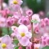 京都の秋海棠が咲く名所。
