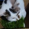 猫草 子猫のとわの可愛い食べ方!