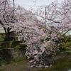 桜クエスト10(大岡川1)