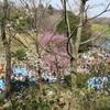 4月はじめの横浜の桜