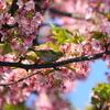 河津桜を見に三浦海岸桜まつりへ 2020