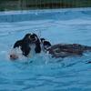 はじめてのプールで溺れそうなボーダーコリー モニカ