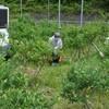 ブルーベリー→園の草取りその8、色づいた、ミルクスランスパンづくり アルミ缶 バラ