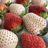 みずみずしくて甘い!いちご・さがほのか&パールホワイトを食べ比べ!(ふるさと納税)