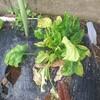4月25日の家の家庭菜園「ほうれん草が・・・」