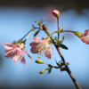 秋から咲く桜:ヒマラヤザクラ