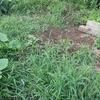 畑の様子。蚊と草の勢いに負け撤退。