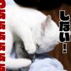 猫カップルのポッキーゲーム