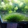 巨大化した藻を除去