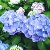 そうだ、鎌倉へ行こう!6月はアジサイが見頃です
