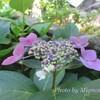 2種類の紫陽花 紫陽花って何科でしょう? <マイガーデン☆6月>