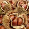 栗の保存方法で甘みが変わる!皮付き生栗・むき栗・ゆでた栗は冷凍保存もできる!?