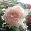 ステファニーグッテンベルクの二番花