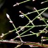 水滴滴る芽生えのニシキギ