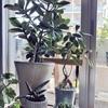 お部屋で育てている植物  サンスベリア 胡蝶蘭 ホヤなど♪
