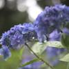 広島【三景園の紫陽花】【八天堂カフェリエ】へ