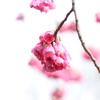 ブーケみたいに咲く寒緋桜が可愛かった。向島百花園の春の花たち