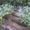 【家庭菜園】今週のオクラ(30~33回目の収穫、45~51本目)