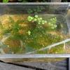 ドジョウやエビやヒメタニシの観察用水槽を作った