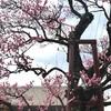 飯田市立動物園の入り口にある紅梅。樹齢260年モノです。