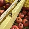リンゴ狩り行ってきました。安曇野りんごの木オーナー