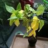 枝豆の一株の葉が黄色に、、これは収穫せざるをえない。