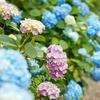 梅雨の四季の里 緑水苑でカラフルな紫陽花を撮影してきました..!